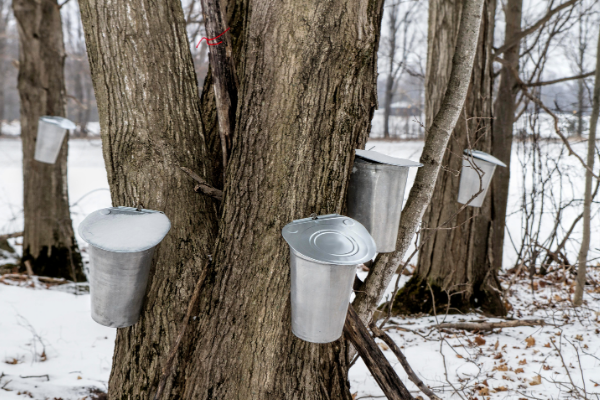 Guide to Fun Maple Sugaring Demonstrations
